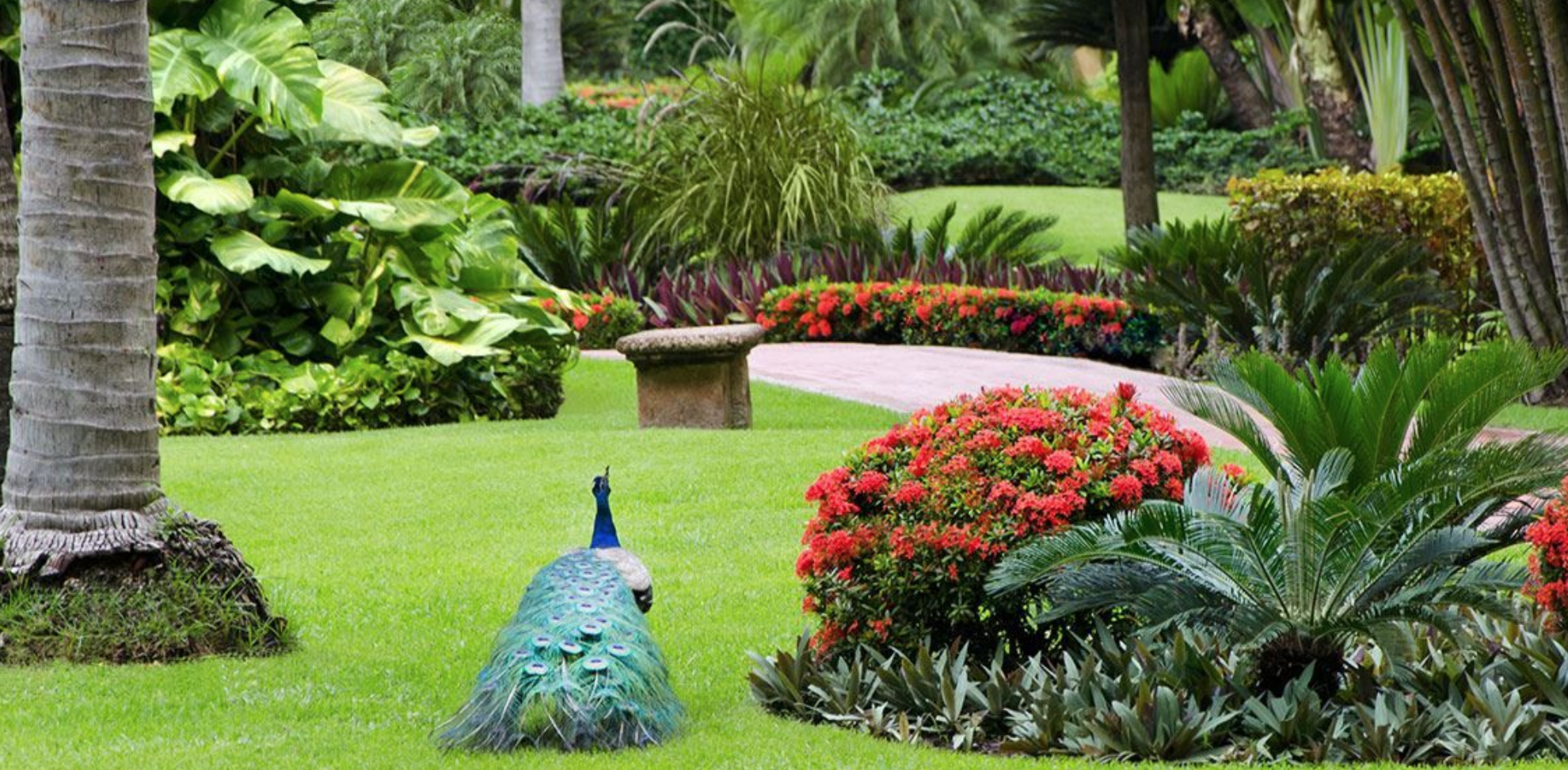 The lush gardens of Velas Vallarta Resort in Puerto Vallarta, Mexico, feature a variety of lush tropical trees and flora, and you'll even find beautiful peacocks roaming the property.