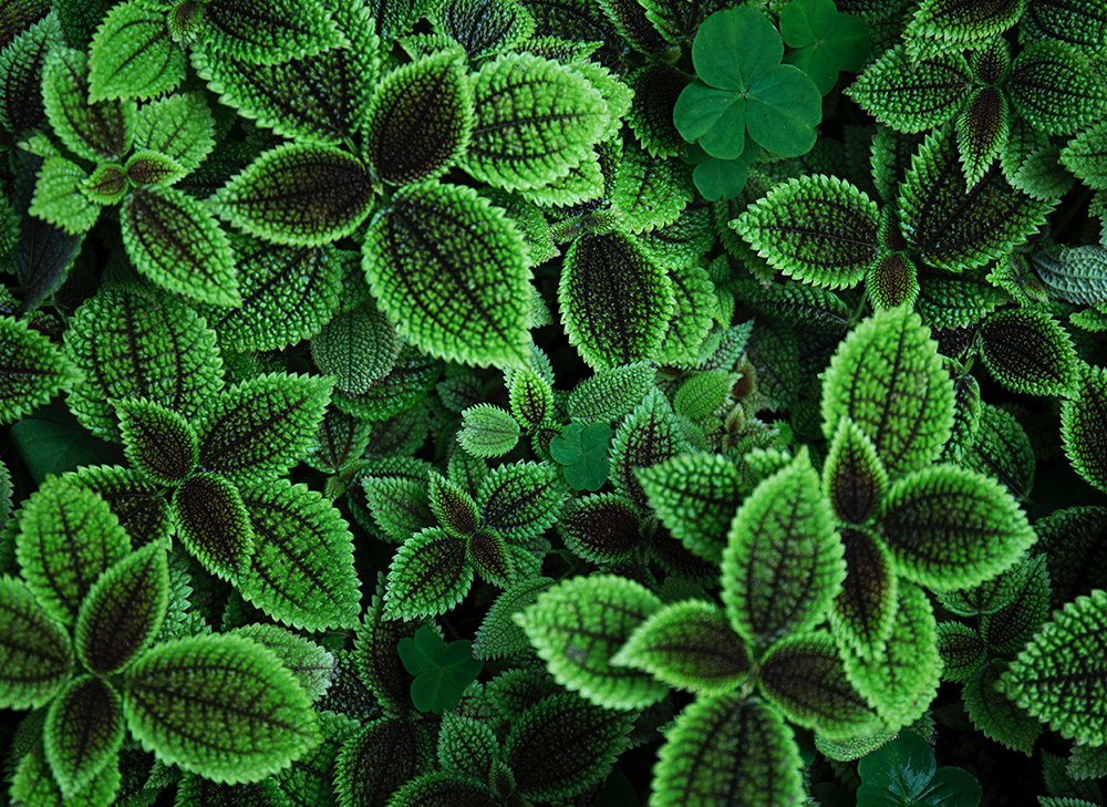 Bunches of fresh mint with vibrant, green leaves.