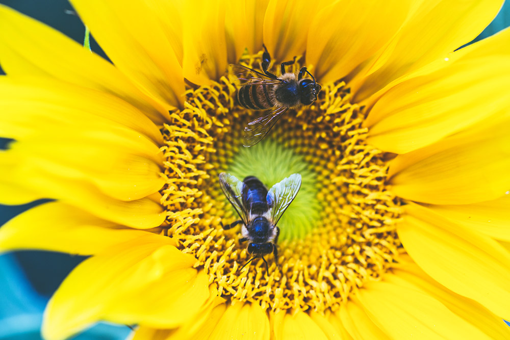 A honeybee pollinates a yellow sunflower.