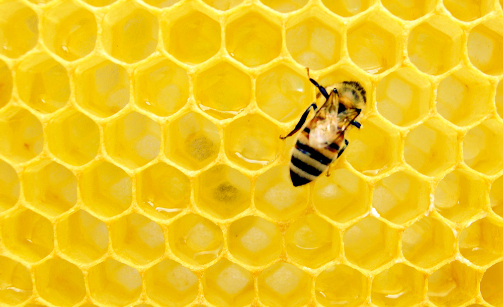 A worker bee deposits honey into a honeycomb.