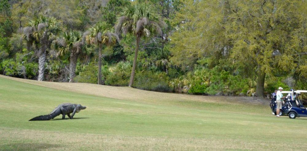 Alligator Dinosaur South Carolina Golf Course