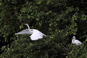 honda classic egret