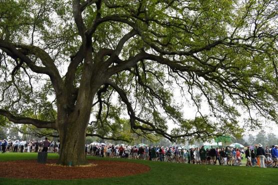 Augusta oak tree