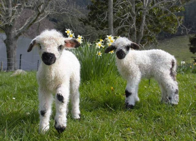 Cutest Sheep In The World Are In Hot Demand For The Win