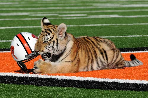 Massilon Washington is under fire once again for its live tiger mascot named Obie — Massillon Washington athletics
